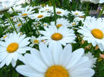 Army Of Daisies