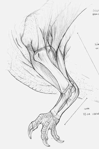 Giganoto left arm anatomy by Christoferson on DeviantArt