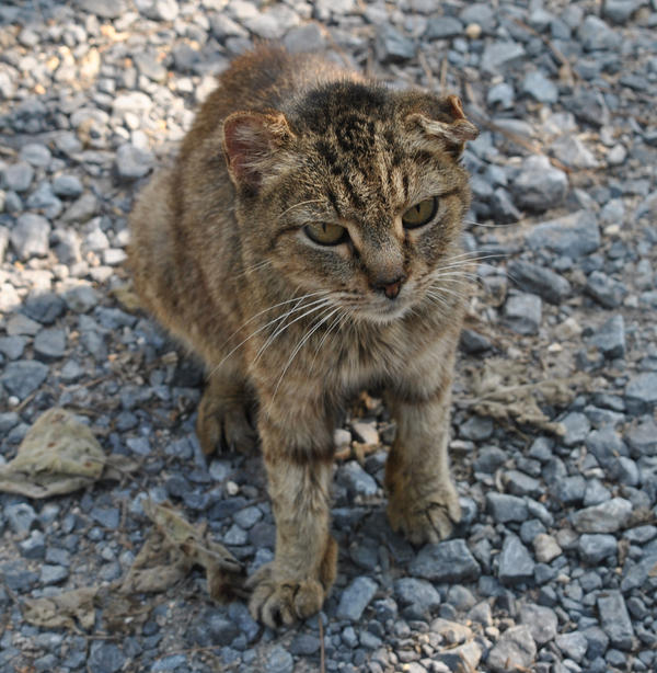 Bobby the bobtailed feline by disturbeddragon