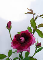 Stock Rose:  Magenta Bicolor by Foxytocin