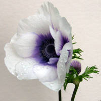 White Anemone on White, I by Foxytocin