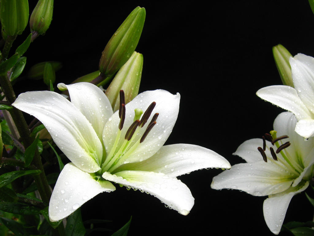 White Lily, Water Drops II by Foxytocin on DeviantArt