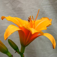 Daylily:  Happy Orangish Yello by Foxytocin