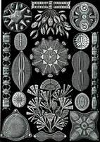 Haeckel's Beasties Stock III by Foxytocin