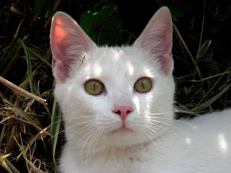 Young White Cat III