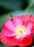 Pink Poppy and Bee III by Foxytocin