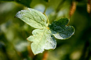 Dewdrops on Bleeding Heart by Foxytocin