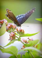 Buddleia and Butterfly by Foxytocin