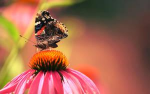 Butterfly on Echinacea by Foxytocin