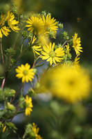Compass Plant in Bloom by Foxytocin