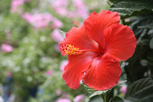 Stock Hibiscus Orange to Red by Foxytocin