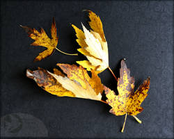 Late Maple Leaves by Foxytocin