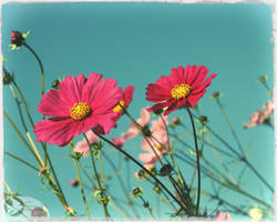 Happy Day Cosmos by Foxytocin