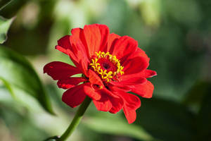 Zinnia red flower stock by Foxytocin