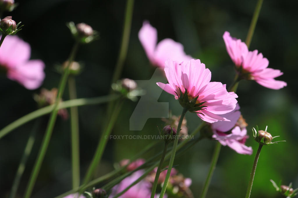 Cosmos Pink Flower Stock by Foxytocin