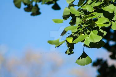 Ginkgo Leaves Blue Sky Stock
