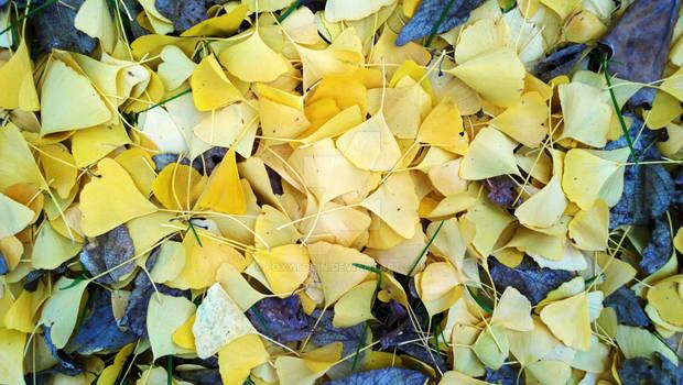 Autumn Yellow Ginkgo Leaves Stock