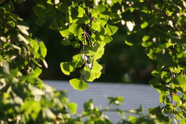 Summer Green Ginkgo Leaf Stock