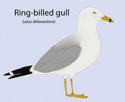 Ring-Billed Gull by seagaull