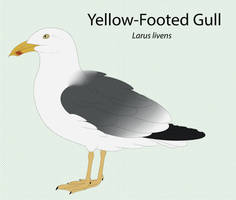 Yellow-Footed Gull by seagaull