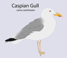 Caspian Gull by seagaull
