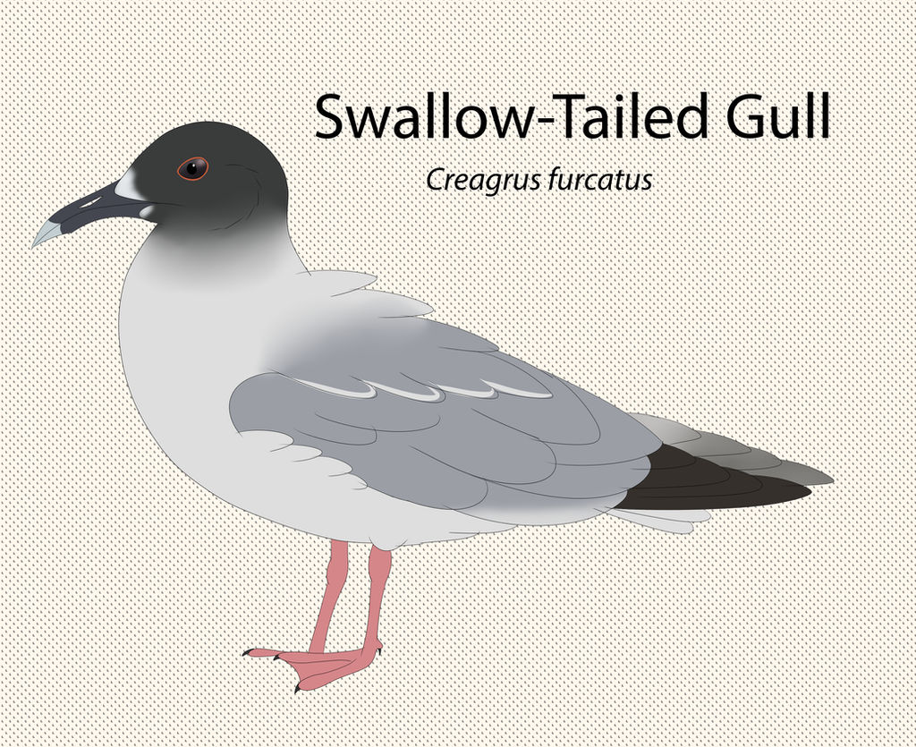 Swallow Tailed Gull by seagaull