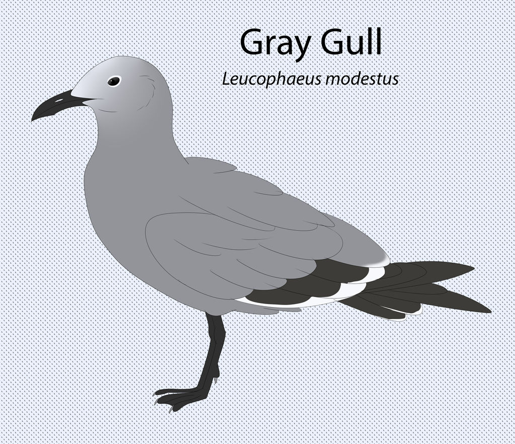 Gray Gull by seagaull