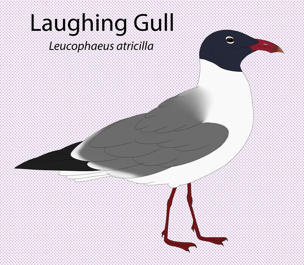 Laughing Gull by seagaull