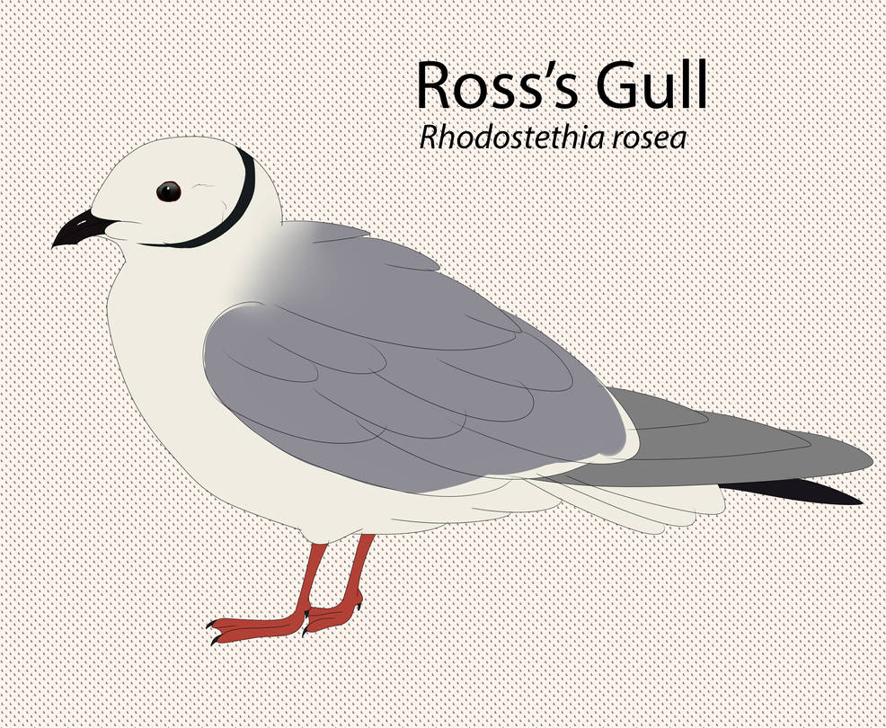 Ross's Gull by seagaull
