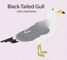 Black Tailed Gull by seagaull