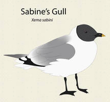 Sabine's Gull by seagaull