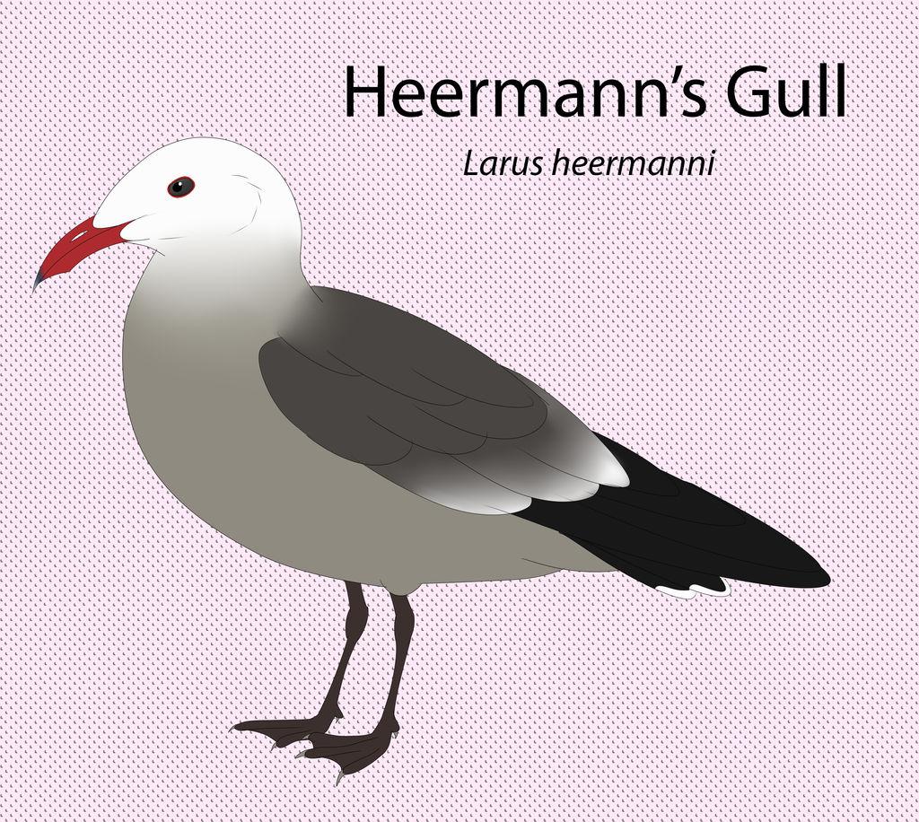 Heermann's Gull by seagaull
