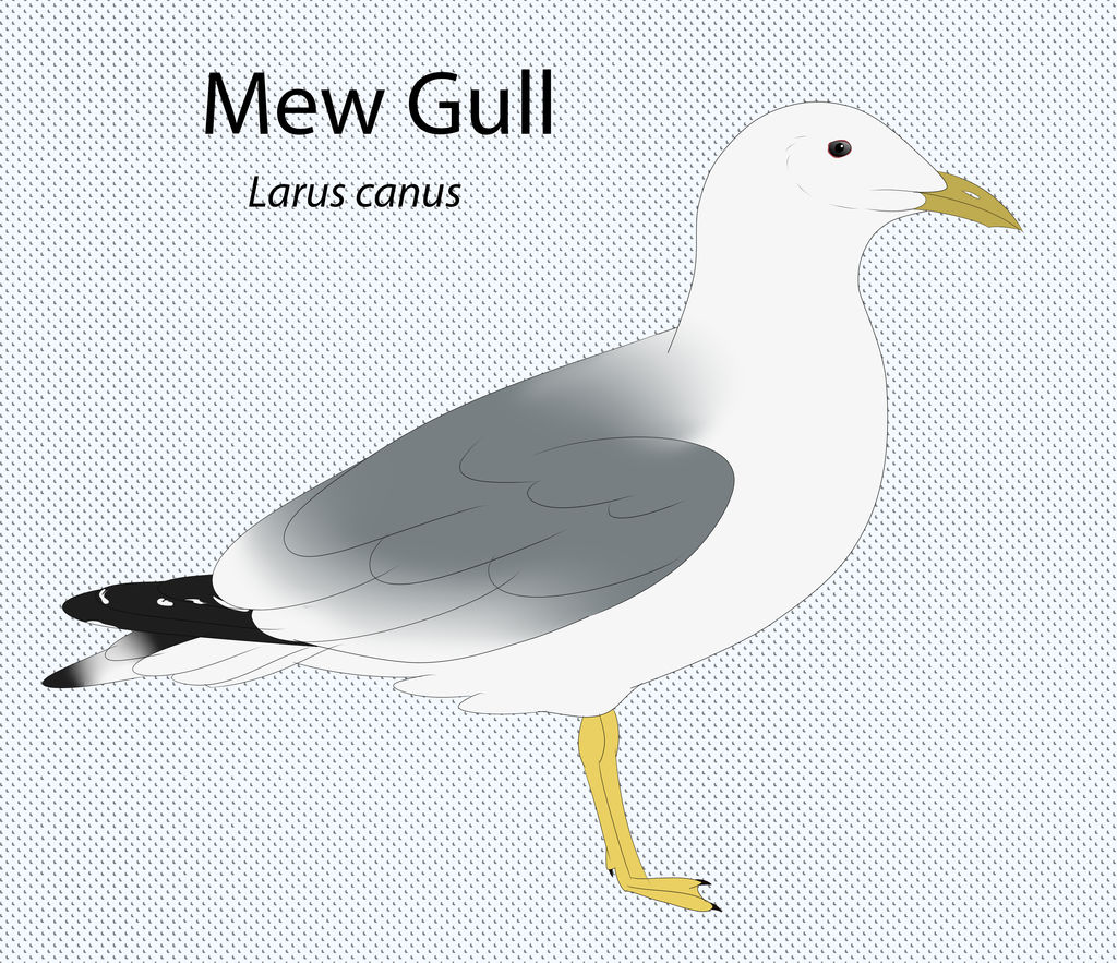 Mew Gull by seagaull