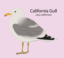 California Gull by seagaull