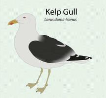 Kelp Gull by seagaull