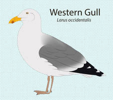 Western Gull by seagaull
