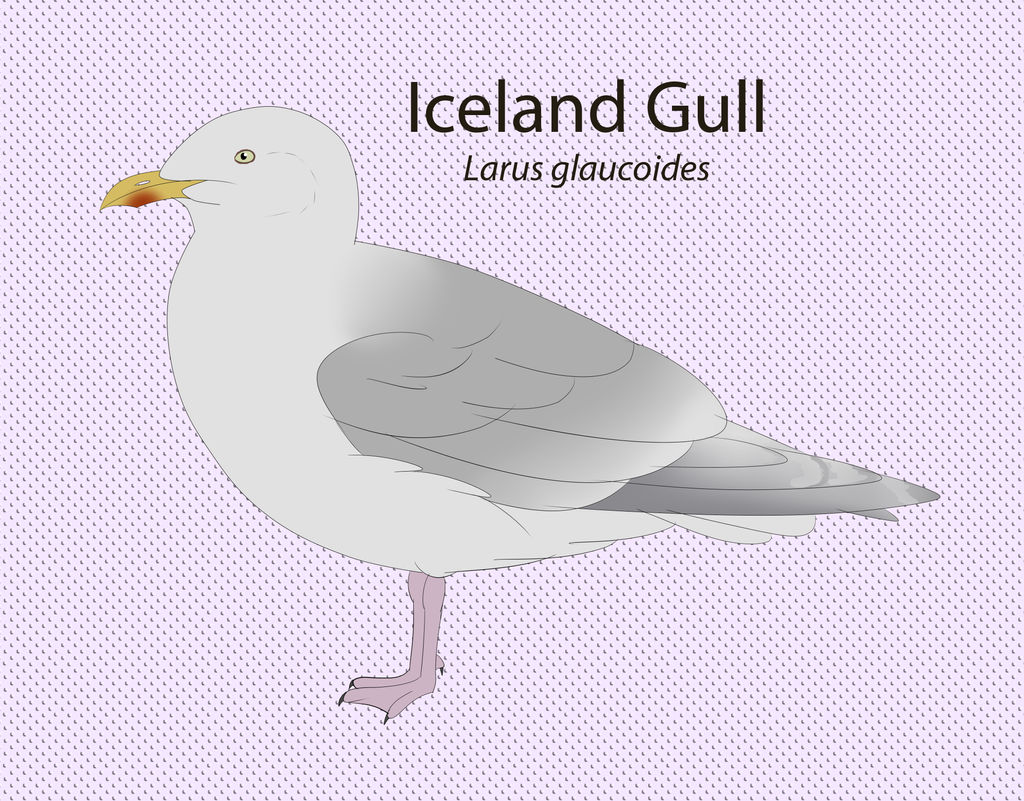 Iceland Gull by seagaull
