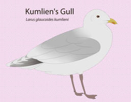 Kumlien's Gull by seagaull