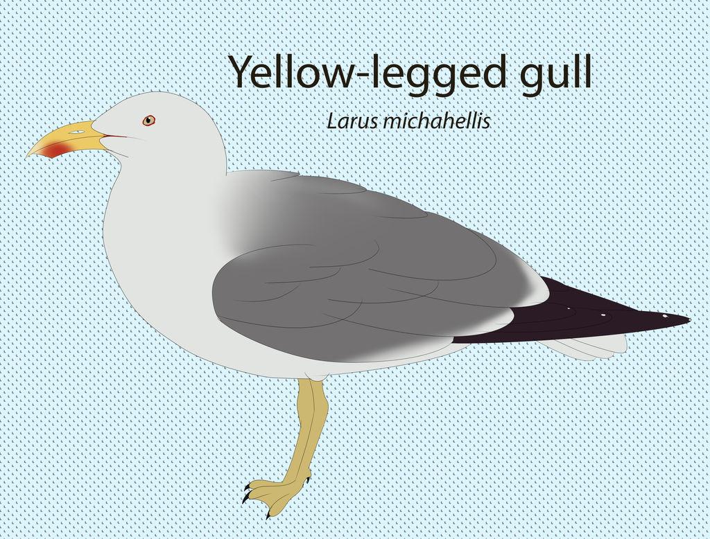 Yellow-legged Gull Chart by seagaull