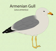 Armenian Gull Chart  by seagaull