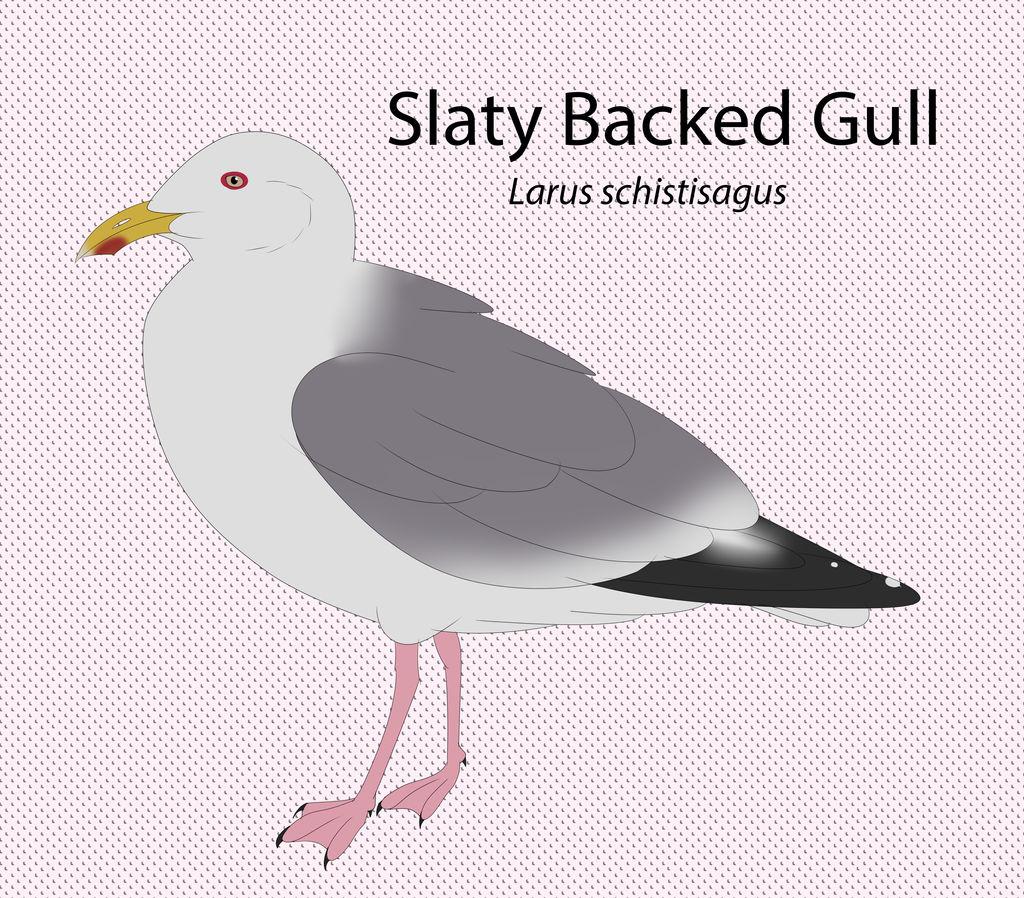 Slaty Blacked Gull by seagaull