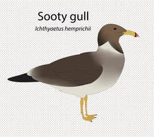 Sooty Gull by seagaull