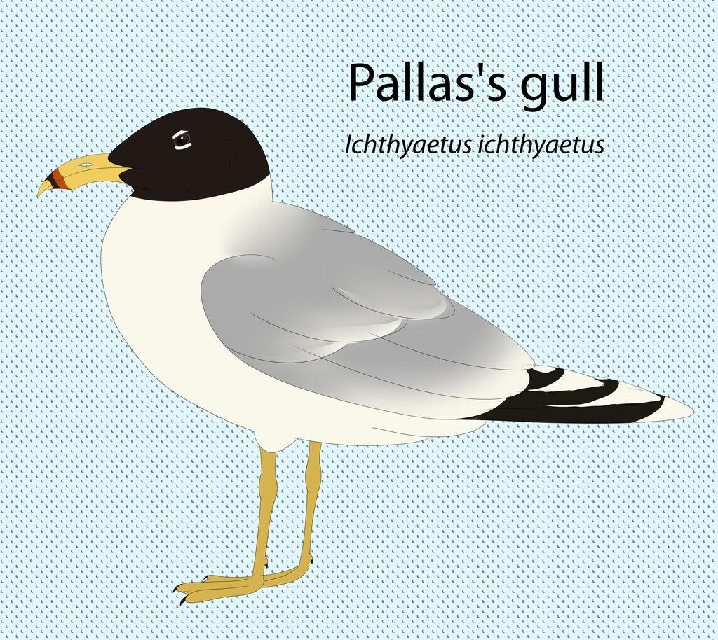 Pallas's Gull by seagaull