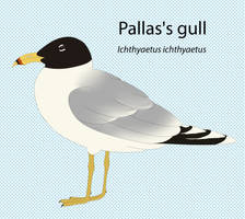 Pallas's Gull by seagaull