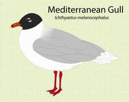 Mediterranean Gull by seagaull
