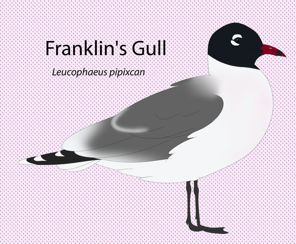 Franklin's gull by seagaull
