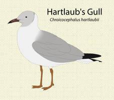 Hartlaub's Gull by seagaull