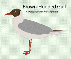Brown Hooded Gull by seagaull