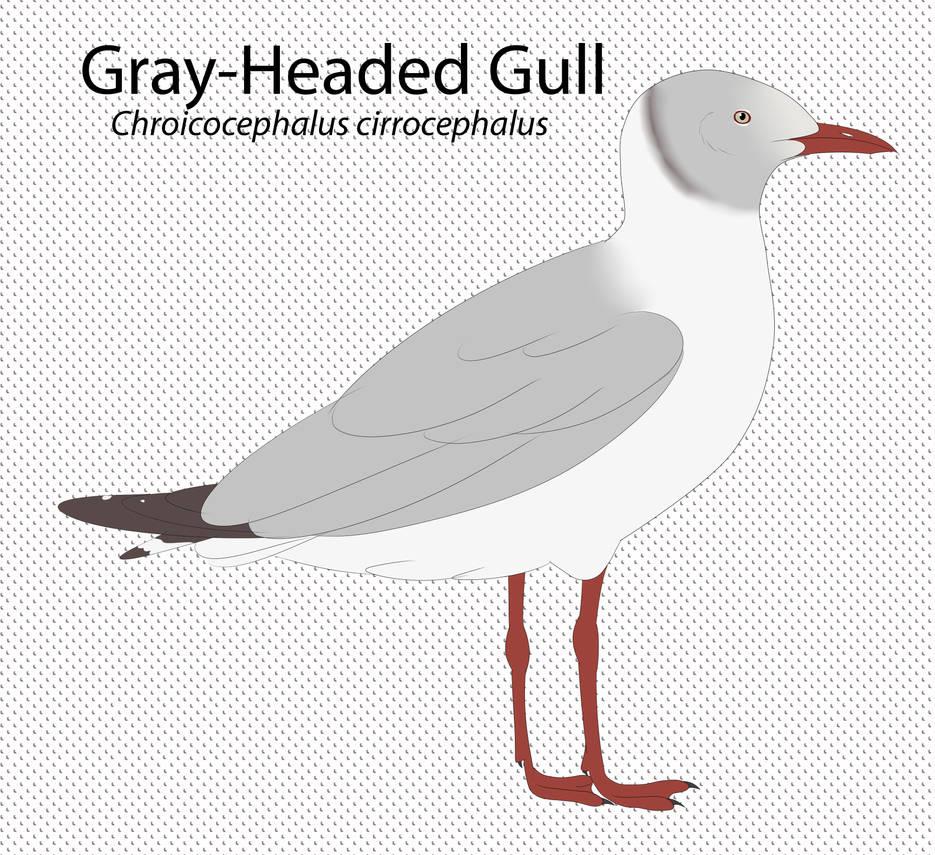 Gray-Headed Gull by seagaull