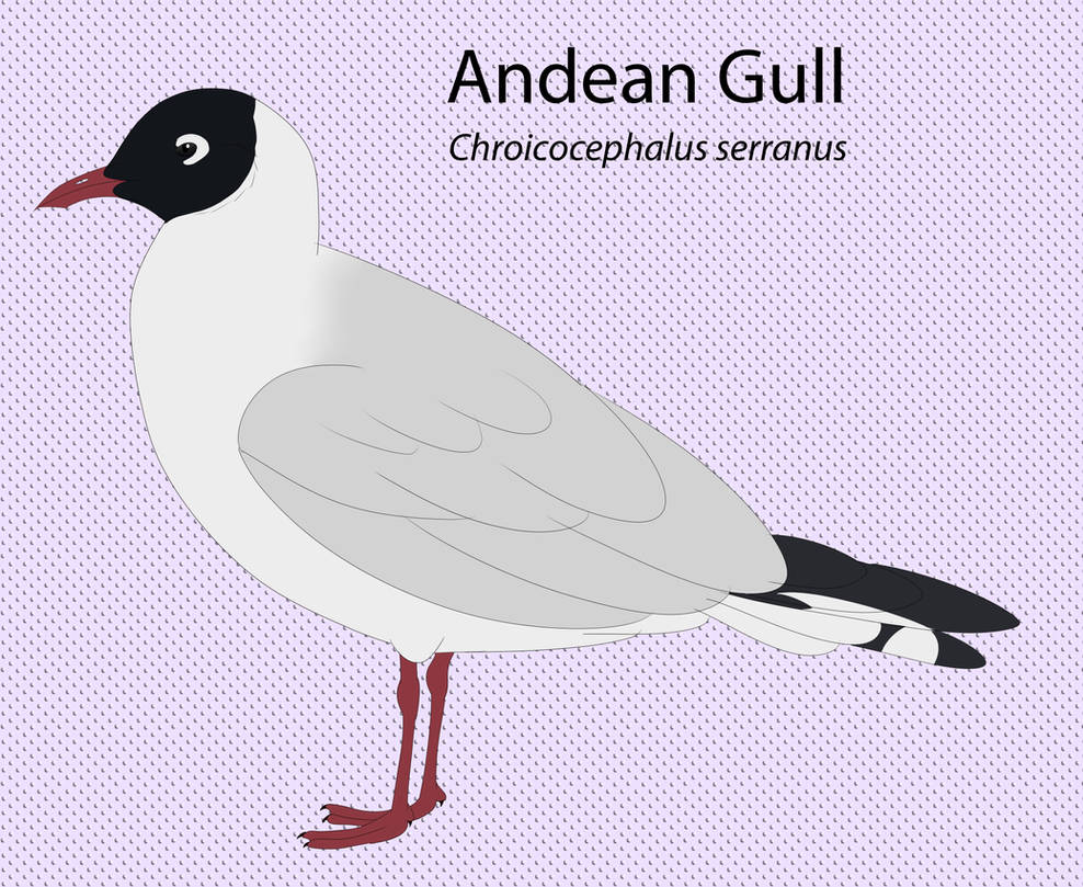 Andean Gull by seagaull